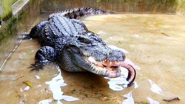 Chế độ ăn của cá sấu nước ngọt