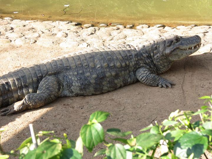 Nhận biết cá sấu nước ngọt