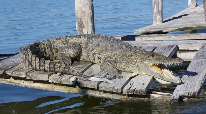 Tập tính của cá sấu nước mặn