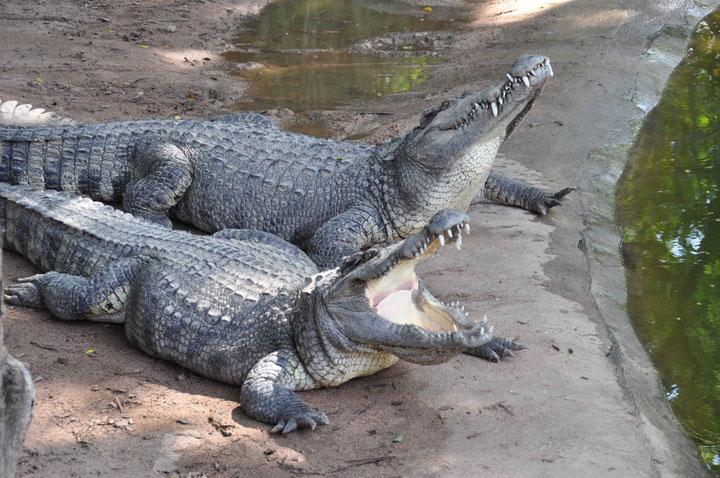 Môi trường sống của cá sấu nước ngọt