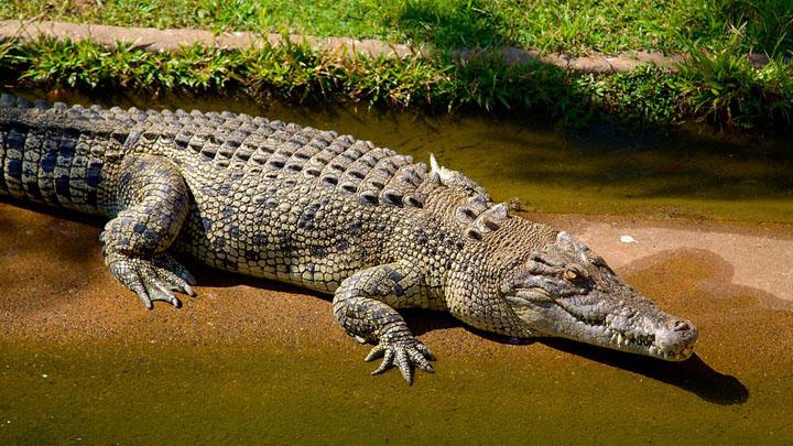 nhận biết cá sấu nước mặn