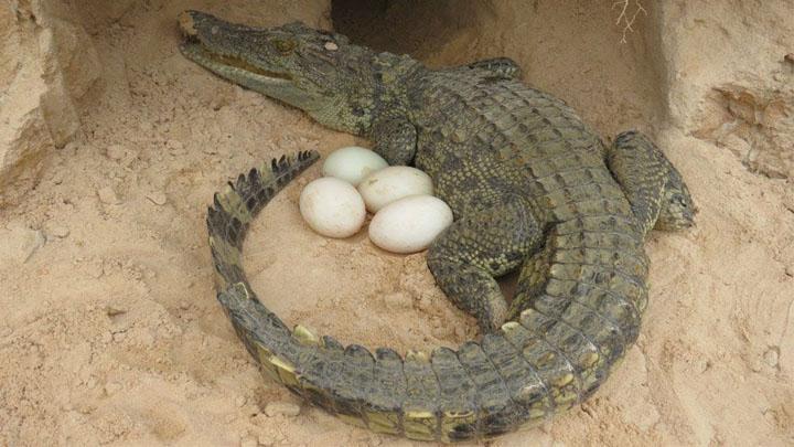 Quá trình sinh sản của cá sấu nước mặn