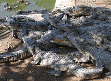 Cách nhận diện sản phẩm da cá sấu cao cấp Cá Sấu Hoa Cà