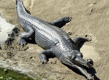 Cá sấu Ấn Độ