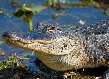 Cá sấu mũi dài