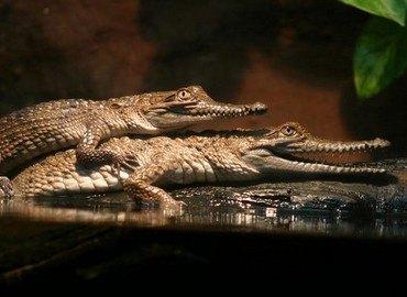Mô tả bộ phận Đuôi cá sấu