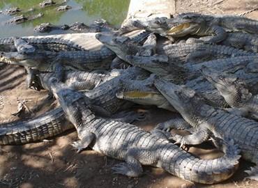 Địa chỉ và giá mua bán cá sấu con tphcm