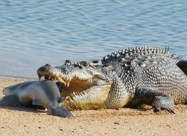 Cá sấu nước mặn và những đặc điểm và sự nguy hiểm của chúng