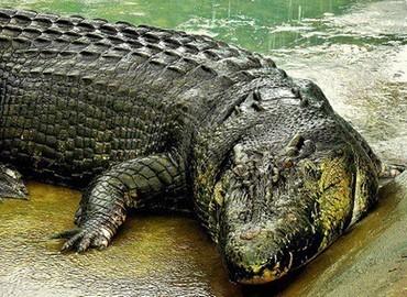 Con cá sấu to nhất lịch sử là loài nào?