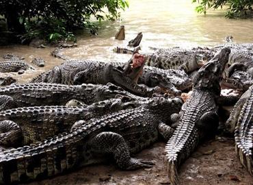 Cá Sấu Hoa Cà (Làng Cá Sấu Sài Gòn) kính chào quý khách!