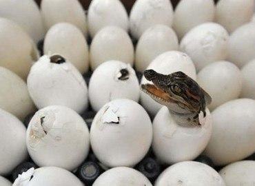 Món ăn ngon bổ dưỡng từ trứng cá sấu